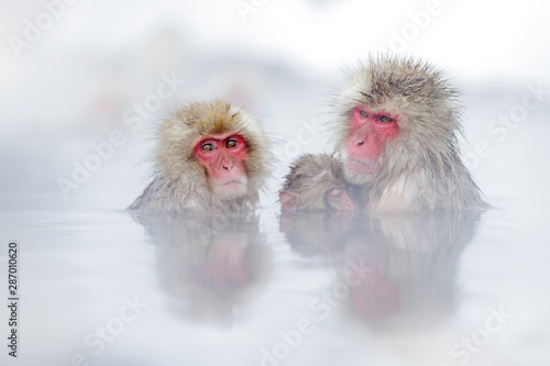Tela Family in the spa water Monkey Japanese macaque, Macaca fuscata, red face portrait in the cold water with fog, animal in the nature habitat, Hokkaido, Japan