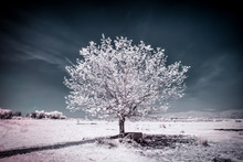 Infrared Photo Of Tree And Branches. Fine Art Photo Of Contrasting Colors.