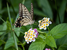 Xuthus Swallowtail Butterfly On Lantana Flowers 4