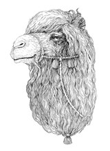 Drawing Portrait Camel, Sketch...