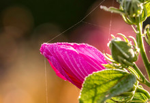 Swamp Mallow Rose With Clean B...