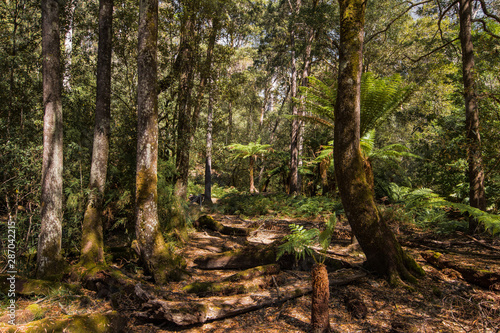 Obraz na plátně Forests of Jurassic or prehistoric appearance, covered with ferns, moss and giant eucalyptus trees on the island of Tasmania in Australia
