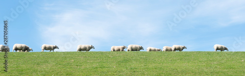 Fotobehang Pistache white sheep under blue sky on grassy dyke in dutch province of friesland