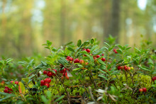 Cranberries In The Woods.Ripe ...