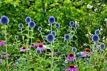 Globe Thistle Thornbush Flower...