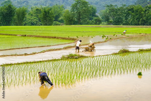 Papiers peints Vert chaux Des hommes et des femmes labourent la terre pour planter du riz, province de Cao Bang, Vietnam.