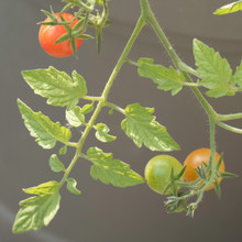 Ripening Cocktail Tomatoes On A Tomato Plant.