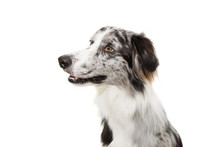 Portrait Attentive Merle Border Collie Profile Looking Side. Isolated On White Background.