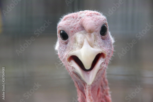 Fotomural portrait of funny curious turkey