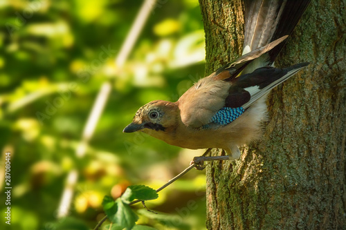 Fotografie, Obraz Single ordinary jay sitting on tree