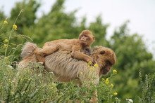 Barbary Macaque Monkey Mother Carrying A Baby