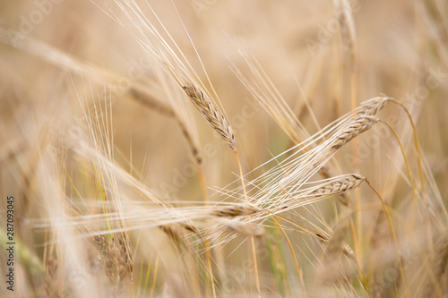 Young wheat grows on the field. - 287093045