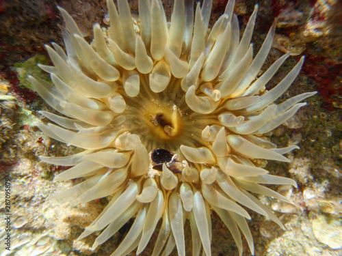 Photo Close-up of a sea anemone (possibily Bunodosoma cangicum) showing the tentacles and the oral disc