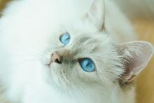 White Birman Cat With Blue Eyes