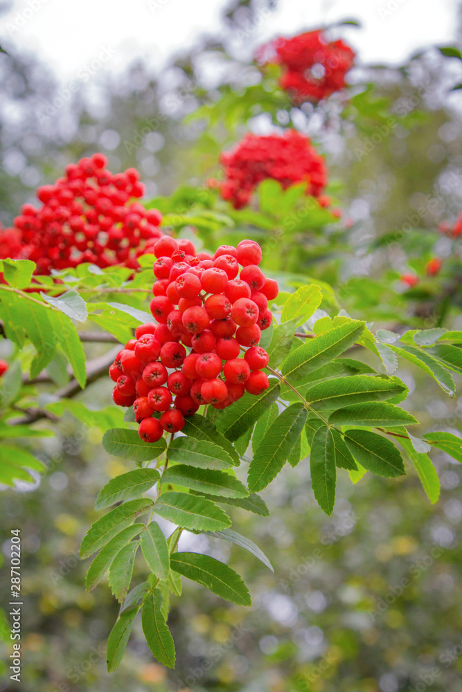 Fototapety, obrazy: Close up of European rowan , Sorbus aucuparia. Red juicy rowan berries and green leaves.