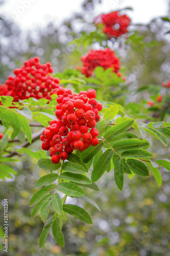 Close up of European rowan , Sorbus aucuparia. Red juicy rowan berries and green leaves.