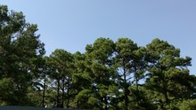 Tree Tops With Blue Sky Background