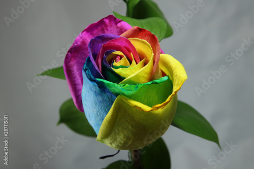 Top of a Tie Dyed Rose Bud