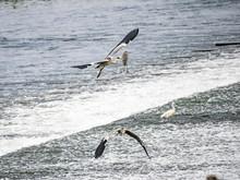 Pair Of Gray Herons Flying Below Tama River Weir Dam