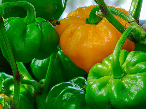 Cuadros en Lienzo Hot Jamaican Scotch Bonnet Chili Pepper in growing phase at plant