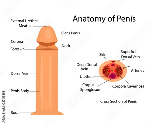Foto Medical anatomy of penis vector ilustration for medical purposes
