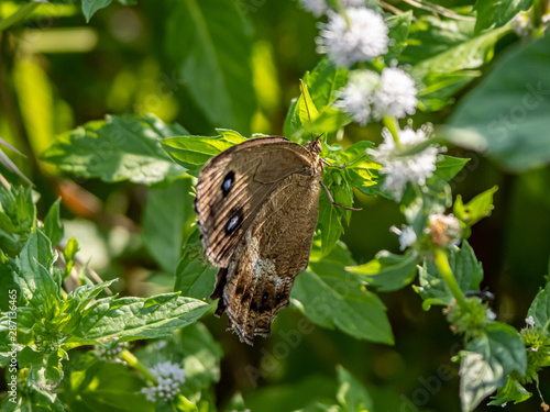 Japanese dryad butterfly minois dryas on a leaf Canvas-taulu
