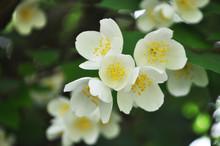 White Flower Jasmine