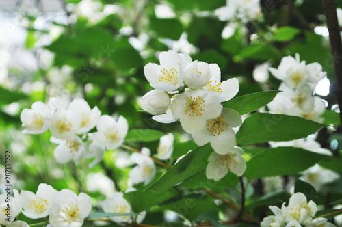 white flower jasmine Wallpaper Mural