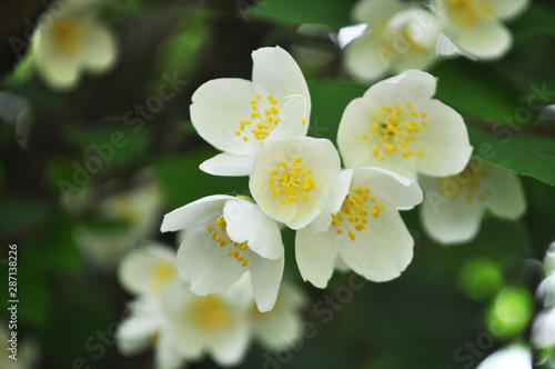 white flower jasmine Wallpaper Mural
