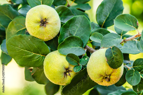 Mature fruits of yellow quince. Bunch of yellow quince fruits growing on the bush at countryside - 287140088