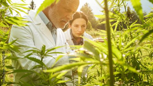 Fotografie, Obraz Researchers checking hemp plants in the field