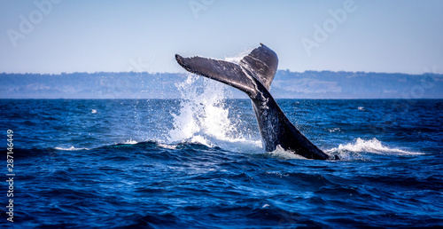 Obraz na płótnie Humpback whale slapping its tail on the water in Australia near Byron bay