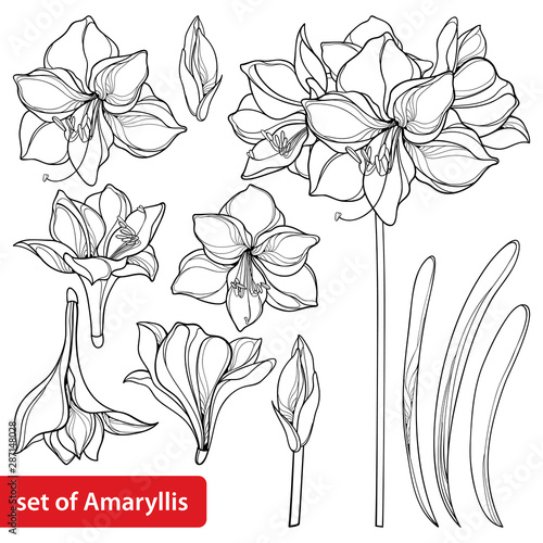 Set of outline tropical bulbous Amaryllis or belladonna Lily flower bunch, bud and leaf in black isolated on white background Wallpaper Mural