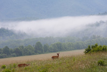 Two White Tailed Deer Alternate Between Grazing And Watching For Predators In A Fog Filled Valley Of The Great Smoky Mountains National Park.