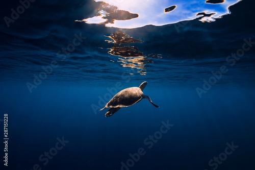 Fototapeta Sea turtle glides in blue ocean. Green sea turtle underwater