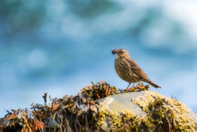 Rock Pipit With His Beak Full Of Food