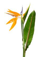 Strelitzia Reginae Flower With...