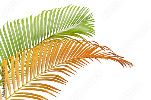 Yellow Palm Leaves Dypsis Lutescens Or Golden Cane Palm Areca Palm Leaves Tropical Foliage Isolated On White Background With Clipping Path Wall Mural Dewins See more ideas about tropical, tropical leaves, leaves. yellow palm leaves dypsis lutescens or golden cane palm areca palm leaves tropical foliage isolated on white background with clipping path wall