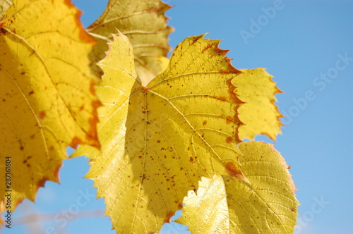 Bright yellow autumn leaves against blue sky Canvas-taulu