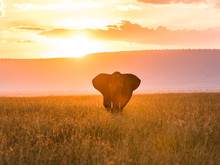 A Single Elephant In The Masai...