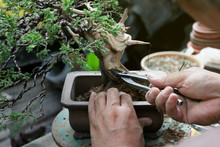 Making Of Bonsai Trees, Wiring A Tree Into The Pot. Handmade Accessories Wire Cutters And Scissors Bonsai Tools, Stand Of Bonsai, Concept Bonsai.