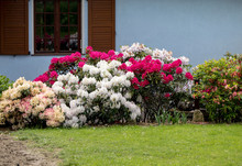 Blooming Colorful Flowers Of R...