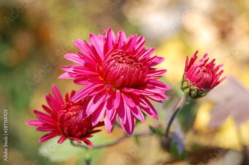 Valokuva  Colorful autumn chrysanthemum flowers branch
