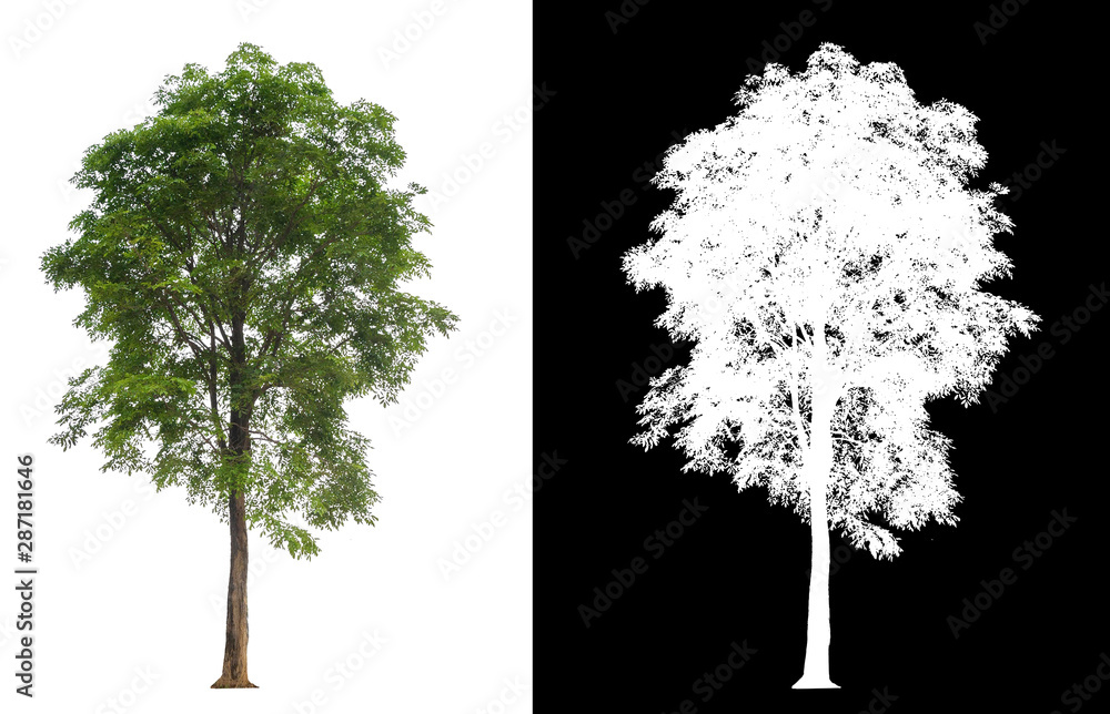 Fototapety, obrazy: single tree with clipping path