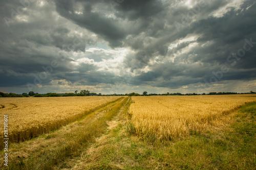 Spoed Fotobehang Weide, Moeras Rural road through grain and gray sky