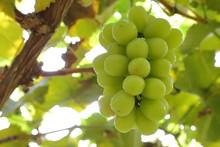 Japanese Grape In Vineyard Of Okayama,Japan