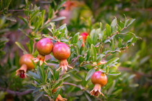 Close-up Of Small Decorative Ornamental Ripening Pomegranate Fruit On A Tree, The Symbol Of Israel