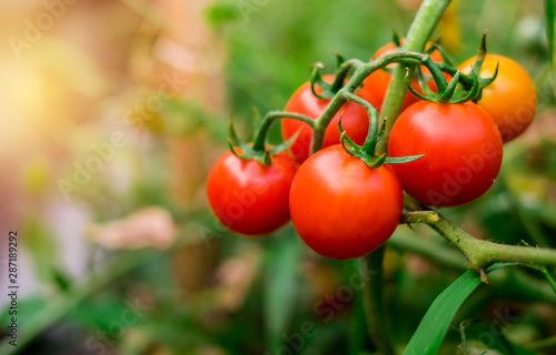 Ripe red tomatoes are on the green foliage background, hanging on the vine of a tomato tree in the garden Obraz na płótnie