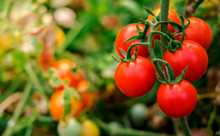 Ripe Red Tomatoes Are On The Green Foliage Background, Hanging On The Vine Of A Tomato Tree In The Garden.