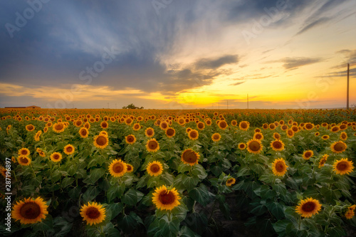 In de dag Zonnebloem Sunflower Field at Sunset